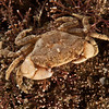DSC_4536 Black finger crab (Ozius deplanatus) juvenile. Found in the lower tidal zone, on gravel, rocky and stony beaches, in Northern NZ. Tokerau Beach, Karikari Peninsula