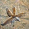 DSC_ 1275 Spiny sea star (Coscinasterias muricata) these starfish reproduce asexually by 'fission' where the central disc breaks into two pieces and each portion then regenerates the missing parts, in this case four new arms. Quarantine Point, Otago Peninsula *