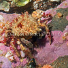 DSC_5100 Small seaweed crab (Notomithrax minor) a short-legged, triangular bodied crab, which removes living seaweed from rocks and attaches them to hooked hairs on its back, where the weed continues to grow as an effective camouflage. Otago Harbour *