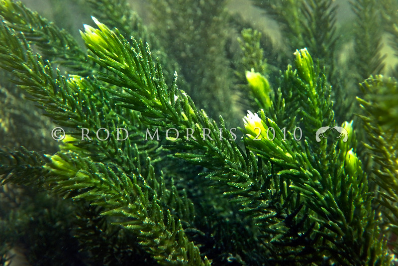 P_1010086 Sea rimu (Caulerpa brownii) detail of dense rimu-like branchlets. Grows from the low intertidal down to about 20m, deeper in Fiordland. Throughout the South Island, and southern North Island, on rock on open coasts. Pudding island, Otago Harbour