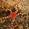 DSC_5388 Soft-skinned brittle star (Ophiomyxa brevirima) found throughout New Zealand, this species extends well down into the subantarctic region. Found in low intertidal and subtidal, occurring at depths of at least 130m. It is seldom found in the open, but lives underneath stones or inside cavities, from where it extends its arms. Waipapa Point, Catlins Coast *