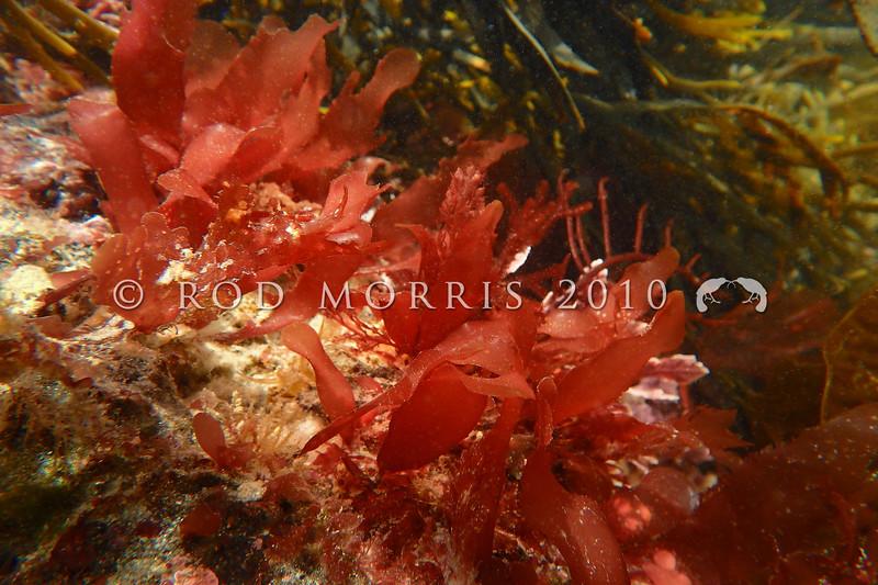 PC_10109 Red seaweed (Rhodymenia leptophylla) Brighton Beach *