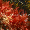 PC_10109 Red seaweed (Rhodymenia leptophylla) Brighton Beach *