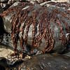DSC_4390 Red seaweed or karengo (Pyropia cinnamomia) exposed on rock at low tide in winter. Long Beach *
