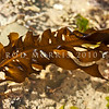 DSC_4584 Wakame, or Japanese kelp (Undaria pinnatifida) winter frond, showing prominent main axis and well-defined midrib. Highly valued as a food source in Japan and Korea, Undaria has been accidentally introduced around the world, probably through shipping. It first appeared in Wellington in 1987 and is now widespread, occuring as far south as the Snares. All Day Bay, Kakanui *