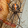 DSC_9129 Red katipo spider (Latrodectus katipo) female amongst beach vegetation. Karamea *
