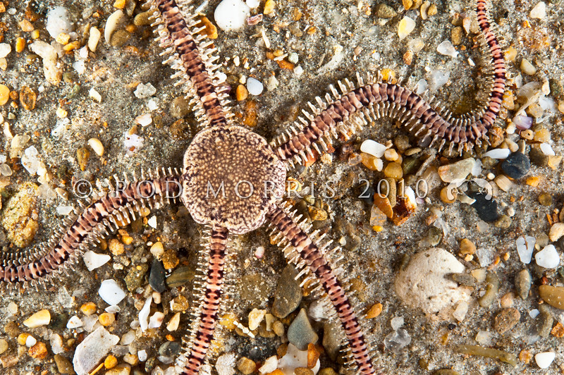 DSC_4171 Mottled brittle star, or wheki huna (Ophionereis fasciata) Found in low intertidal and subtidal. It is seldom found in the open, but lives underneath stones or inside cavities, from where it extends its arms. Brighton Beach *