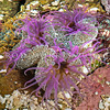 DSC_5632 Giant shore anemone (Oulactis magna) identifiable by the lacy white ruff below the tentacles - which may be blue, mauve, orange, brown or white. The camouflaged column is decorated with shell fragments, and the large, wide disc may be brown, olive, green, pink or blue. Found in tidal pools on exposed shores, where sand has collected. Pakiri Beach *