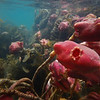 PC_170023 Sea tulip, or keao (Pyura pachydermatina) underwater in harbour channel in summer. Found in the South Island from low intertidal to subtidal, and common in Otago Harbour. Aquarium Point
