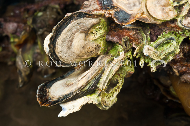 DSC_2946 Rock oyster, or tio para (Ostrea chilensis) mid intertidal on rocks to depths of 120 m on course sand gravel. Aquarium Point, Otago Harbour *