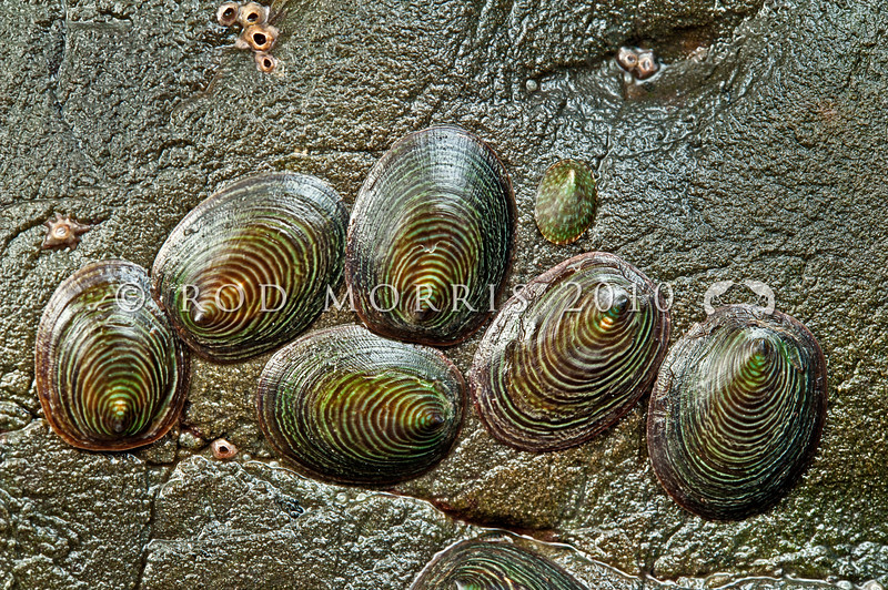 DSC_2205 Fragile limpet, or tupere (Atalacmea fragilis) group, together with one Small green limpet (Notoacmea elongata). Note the characteristic 'fingerprint' pattern on the shell. The greenish colour of these limpets is the result of the underlying green mantle tissue showing through the very thin shell. Found under small and large rocks on semi-exposed coastlines. Oaro, Kaikoura Coast *