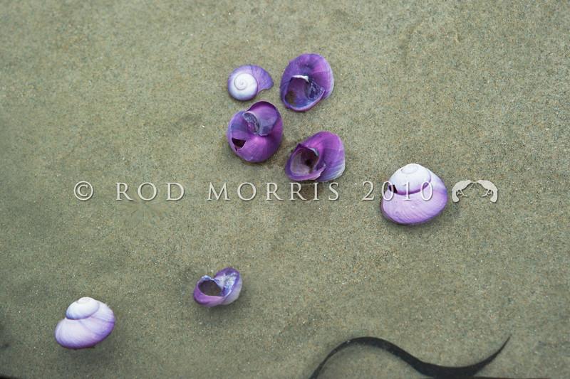 DSC_4978 Large violet snail, or kararua (Janthina janthina) gull-damaged empty shells, washed ashore on beach in Northland.