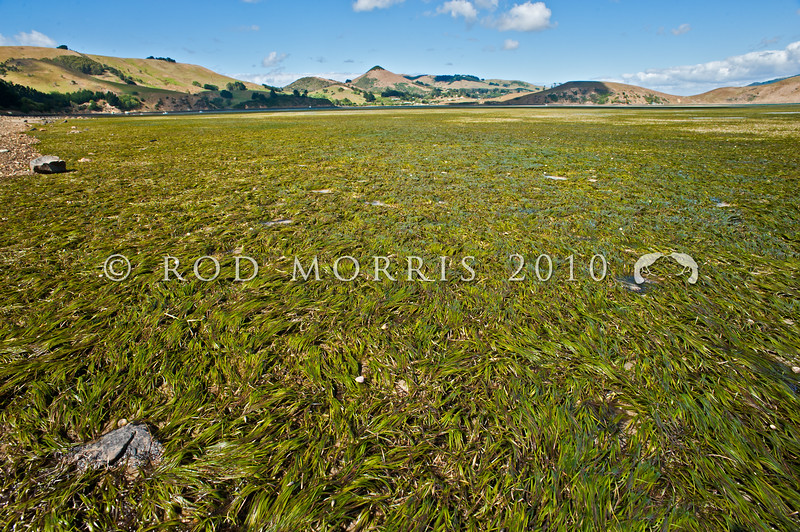 DSC_ 0913 Eelgrass, or karepo (Zostera muelleri) grows on sheltered, intertidal flats dominated by sand or mud bottoms. Here a 'seagrass meadow' is exposed at low tide. Otago Harbour *