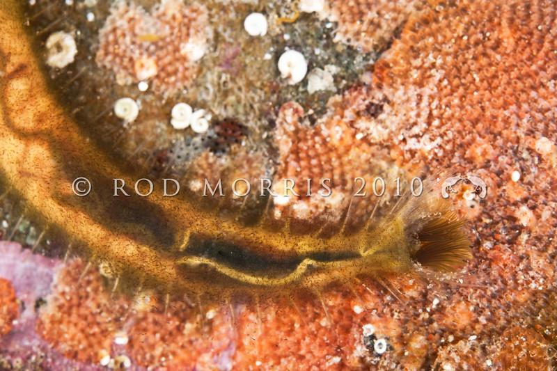 DSC_3990 Bristle cage worm (Flabelligera bicolor) detail of head. In bag of jelly mucus, on underside of rock. Tokerau Beach, Karikari Peninsula