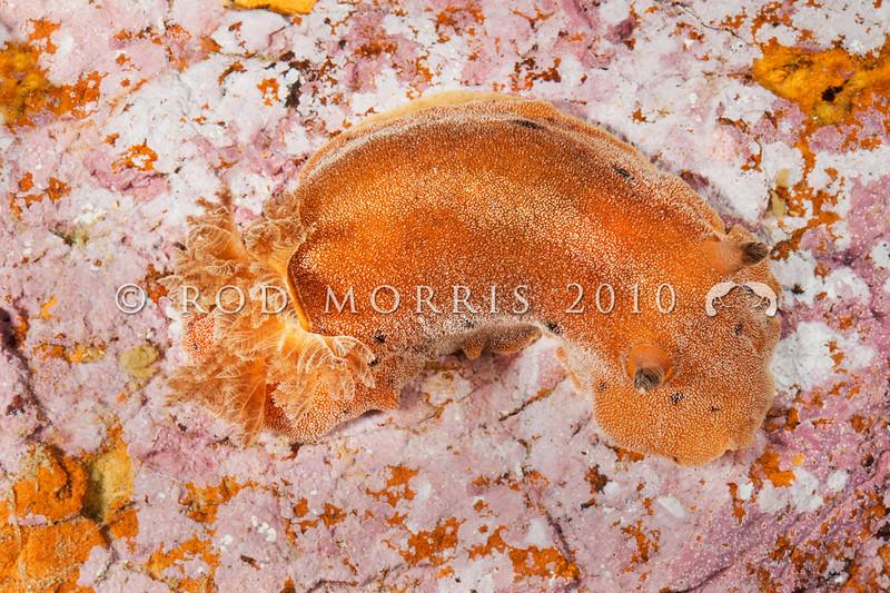 DSC_7473 Brown sea slug (Alloiodoris lanuginata) predator on sea squirts. Common in intertidal zone. Body feels like sandpaper. Colour variable from pale cream brown, dull reddish brown to ashen grey and rarely dark plum red. Otago Harbour