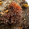 DSC_3026 Rubber weed (Apophlaea lyallii) restricted to southern NZ, especially Otago, Fiordland, Stewart Is, and the Chathams. A distinctive, gingery brown-red colour, with tough and rubbery, branching contorted stems. A seaweed of the upper intertidal zone, on rock in moderately sheltered areas. Brighton Beach *