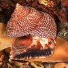 DSC_2276  Beaded top shell (Calliostoma punctulatum) lateral view of snail and shell. Weller's Rock, Otago Harbour *
