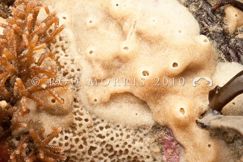 DSC_4421 Encrusting sponge, or koopuputai (Haliclona clathrata) commonly encrusts rock in the mid to low tide zone to depths of 20m. Brighton Beach *