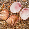 DSC_4157 Purple cockle, or purimu (Purpurocardia purpurata) dorsal and ventral views of hinged valves amongst beach drift. This common cockle prefers moderate water movement, and lives buried at the surface of muddy sand or shell debris on moderately sheltered to semi-exposed coasts. Karikari Bay, Karikari Peninsula *