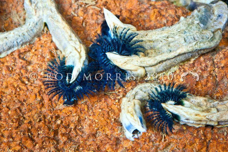 DSC_2300 Blue tubeworm (Spirobranchus cariniferus) found from mid to low tide on rocky shores, usually between the barnacle and mussel bands. Otago Peninsula *