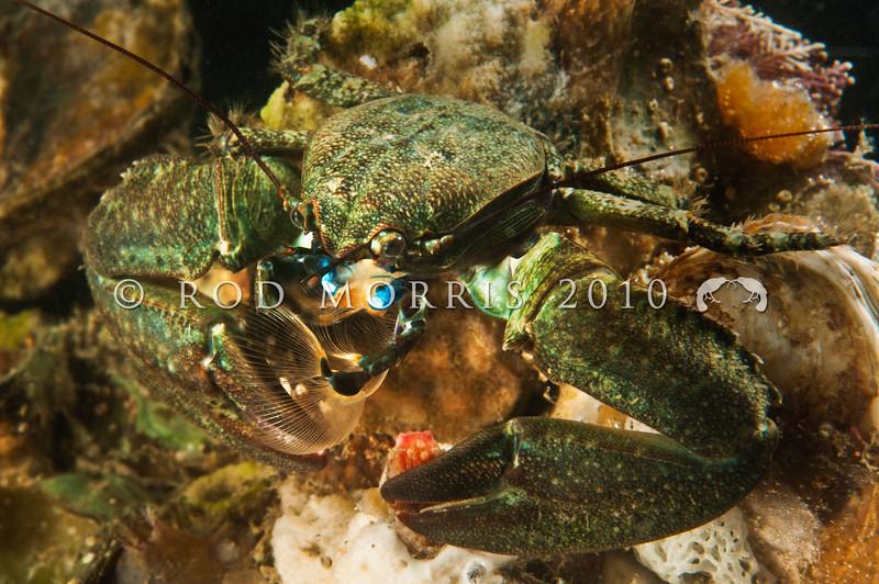 DSC_2928 Half crab, or kokoriki (Petrolisthes elongatus) filter feeding. Found under rocks in the low tide zone. Aquarium Point, Otago Harbour *