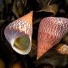 DSC_3281 Opal top shell (Cantharidus opalus) dorsal and ventral view of  shells on seaweed. Note the characteristic irridescent green interior. Tokerau Beach, Karikari Peninsula