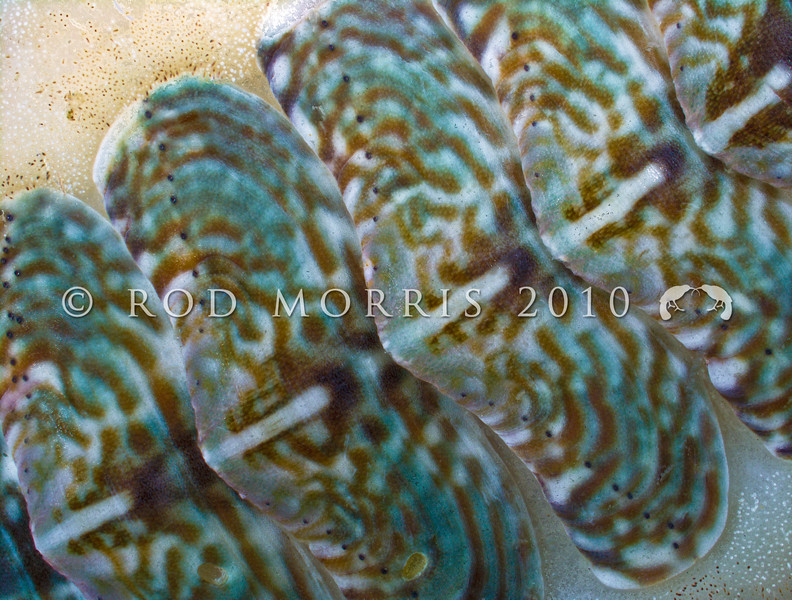 IMG_1752 Etched chiton, or papatua (Onithochiton neglectus subantarcticus) detail of rows of eyes. Chitons are the only molluscs that have living tissue within their hard shell. Unlike the eyes of almost every other living creature, the eyes of chitons are made of the mineral argonite, a crystal form of calcium carbonate, which forms the rest of their shell. Brighton Beach *