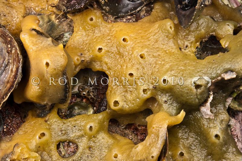 DSC_2912 Encrusting sponge, or koopuputai (Halichondria panicea) commonly encrusts rock in the mid to low tide zone to depths of 20m. Otago Harbour *