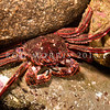 DSC_7590 Red rock crab, or papaka ura (Guinusia chabrus) foraging amongst tidal rocks at night. Goat Island Reserve, Leigh *
