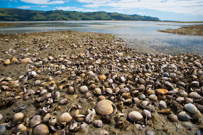 DSC_0752 Cockle, or tuangi (Austrovenus stutchburyi) cocklebed at low tide. Cockles are found in the intertidal area, burrowing in sand and mud from mid to low tide on protected shores. Often found in brackish estuaries illustrating a tolerance to low salinity and silt loading. Lower Portobello, Otago Harbour *