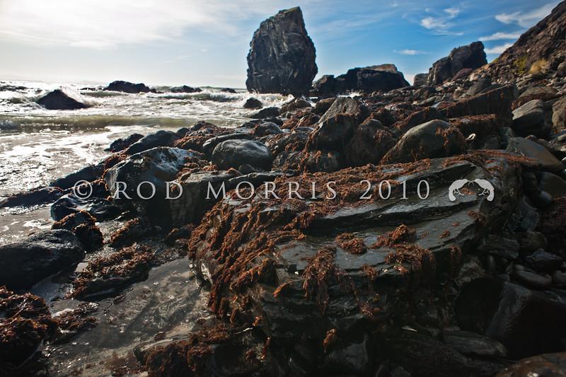 DSC_4397 Red seaweed or karengo (Pyropia spp.) exposed on rocks at low tide in winter. Long Beach