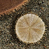 DSC_9792 Sand dollar, or kiritara (Fellaster zelandiae) detail very small juvenile. Found partially buried in sand in estuaries and on sandy beaches exposed to coastal currents and waves. Snell's Beach