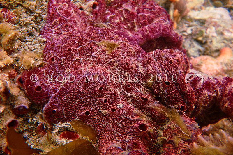 """PC_170092 Colonial ascidian (Botrylloides leachii) typical plum colour, but can also range through green, to orange and cream. Distinguished by having linearly-arranged, parallel """"chains"""" of zooids.  Low intertidal to subtidal. Aquarium Point, Otago Harbour *"""