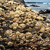 DSC_3039 Plicate barnacle, or werewere (Epopella plicata) on exposed rocky shores from mid to low tide, and nestled here among smaller Columnar barnacles (Chamaesipho columna). Brighton Beach *