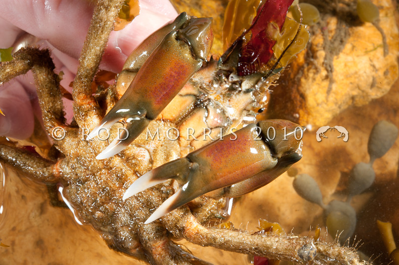 DSC_8477 Peron's seaweed crab (Notomithrax peronii) hand held, showing claw colour. A slender legged, triangular bodied crab, which removes living seaweed from rocks and attaches them to hooked hairs on its back, where the weed continues to grow as an effective camouflage. Otago Harbour *