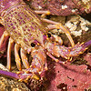 DSC_7629 Crayfish, or Red rock lobster (Jasus edwardsii) this juvenile is unusually pink in colour. Crayfish feed on a variety of invertebrates including star fish, urchins, mussels, scallops and clams. They aggregate in caves and crevices during the day venturing out on to soft sediments at night to feed. Goat Island Marine Reserve, Leigh