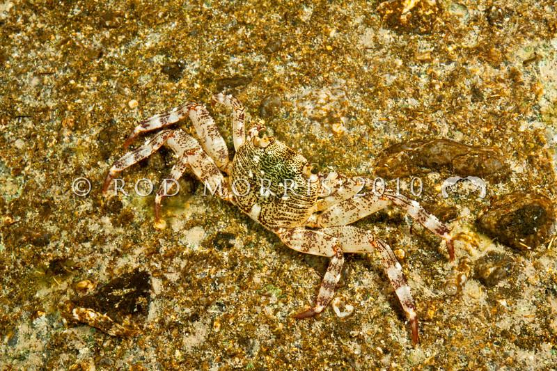 DSC_9948 Purple shore crab, or papaka nui (Leptograpsus variegatus) juvenile, foraging in rock pool at night. Goat Island Marine Reserve, Leigh