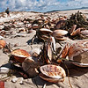 DSC_8862 Large dog cockle, or kua kua (Tucetona laticostata) large, thick and heavy drift shells on beach. Subtidal, where it occurs in large dense beds together with the Purple cockle (Purpurocardia purpurata) in coastal situations. Karikari Bay, Karikari Peninsula *