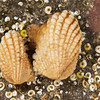 DSC_7656 Dog's foot cockle (Powellina brookesi) a small, ridged, scaly shelled bivalve, found under boulders, ledges and algal holdfasts on semi-exposed to moderately sheltered north eastern shores. Goat Island Marine Reserve, Leigh