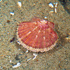 DSC_7443 Common scallop (Pecten novaezelandiae) live animal. These large, often colourful shells are well known to NZers. Distinct in having strongly convex bottom valves, and flat upper valves as shown here. Pakiri Beach