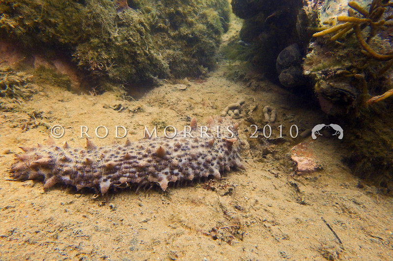 P_2110001Common sea cucumber (Australostichopus mollis) foraging on seabed at low tide during the day. Found at the low-tide level on sand, as well as in mud in protected areas. Aquarium Point, Otago Harbour *