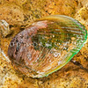 DSC_4350 Nesting mussel, or kuku mau toka (Musculus impactus) clean shell. Found under stones at low tide throughout New Zealand, though typically the byssal threads of this species form a dense mat, which completely hide the animal. Harrington Point, Otago Harbour *
