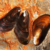 DSC_2334 Brackish water mussel (Xenostrobus securis) detail of shells. Found in beach drift, in estuarine areas, or attached to timber, or rocks at low tide. Havelock, Marlborough Sounds