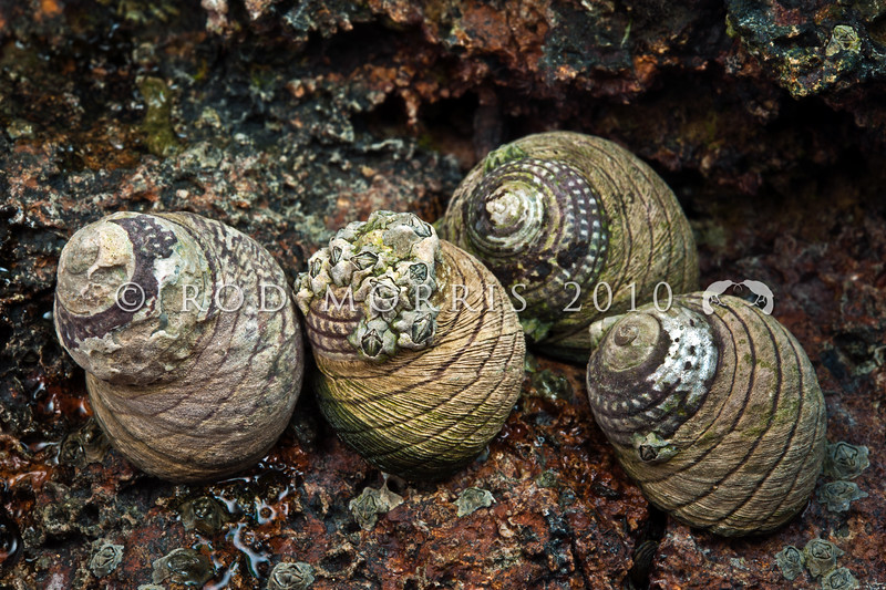 DSC_0251 Spotted black top snail, or maihi (Diloma aethiops) showing characteristic eroded shell. Found at mid to high tide levels on and under rocks, in crevices, and around the edges of rock pools of shores with low to moderate wave action. Pudding Island, Otago Harbour *