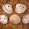 DSC_15043 Morning star shell (Tawera spissa) empty beach drift shells drilled through by the predatory necklace snail (Tanea zelandica) shown centre bottom of picture.  These small bivalves live shallowly buried in fine to coarse sand, on open beaches and along tidal channels. Pakiri Beach, Northland *
