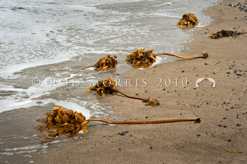 DSC_4650 Paddle weed (Ecklonia radiata) plants washed ashore after storm. A conspicuous kelp in northern NZ, forming beds along rocky coastlines. Low intertidal to subtidal zones. Mathesons Bay, Leigh *