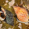 DSC_3678 Spotted whelk, or kawari (Cominella maculosa) normal coloured individual alongside a red-shelled morph. Common in beach drift, and in low tide rock pools. Plimmerton *