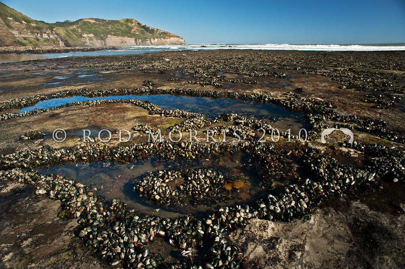 DSC_5085 Green-lipped mussel, or porohe (Perna canaliculus) an extensive mussel bed exposed on rock platform at low tide. This large greenish mussel, is found from low intertidal to 50m on moderate to exposed shores. Common in the North island and now farmed commercially. Maori Bay, Muriwai