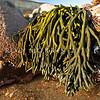 DSC_3515 Branching velvet seaweed (Codium fragile novaezelandiae) exposed at low tide. All Day Bay, Kakanui