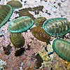 P_3180539 Green chiton, or papatua (Chiton glaucus) northern colour variants. Found on sheltered and exposed shores in the mid tide to shallow subtidal areas. Tolerant of muddy estuaries and even semi-polluted areas. Goat Island Marine Reserve, Leigh *